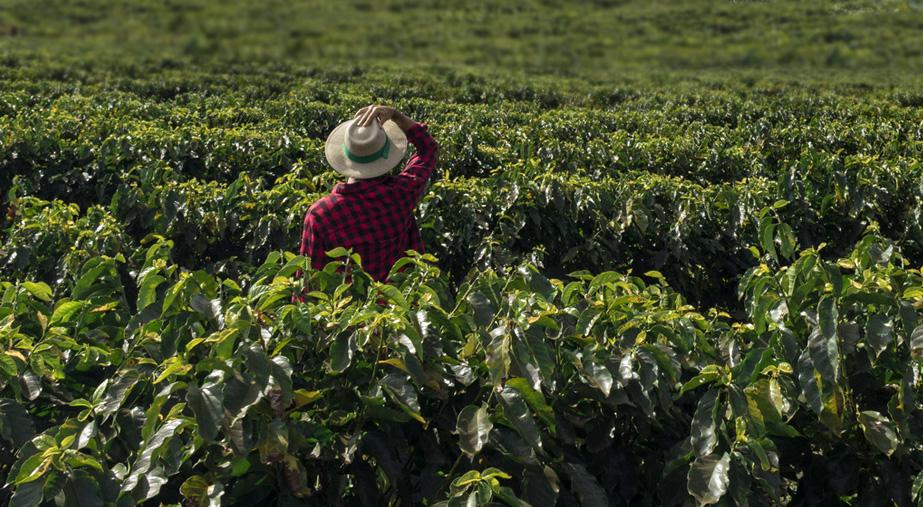 Plantacje kawy