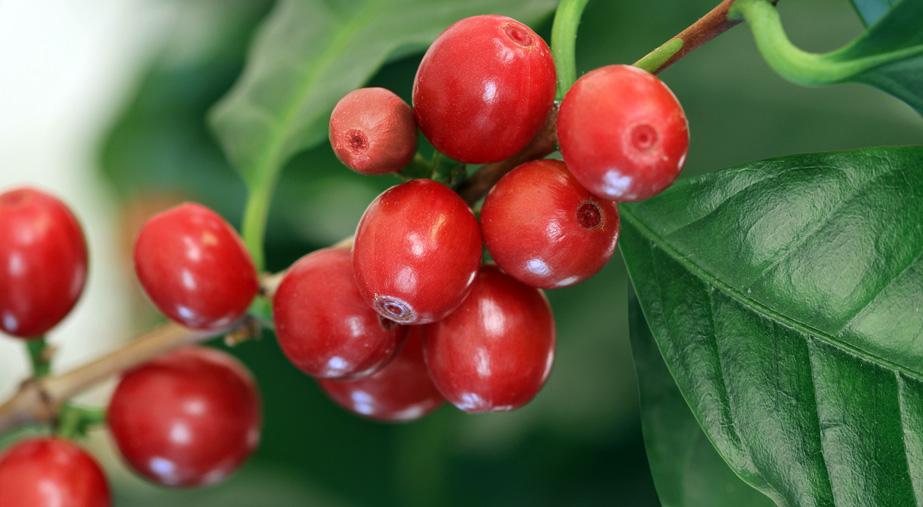 Kawa jest owocem!