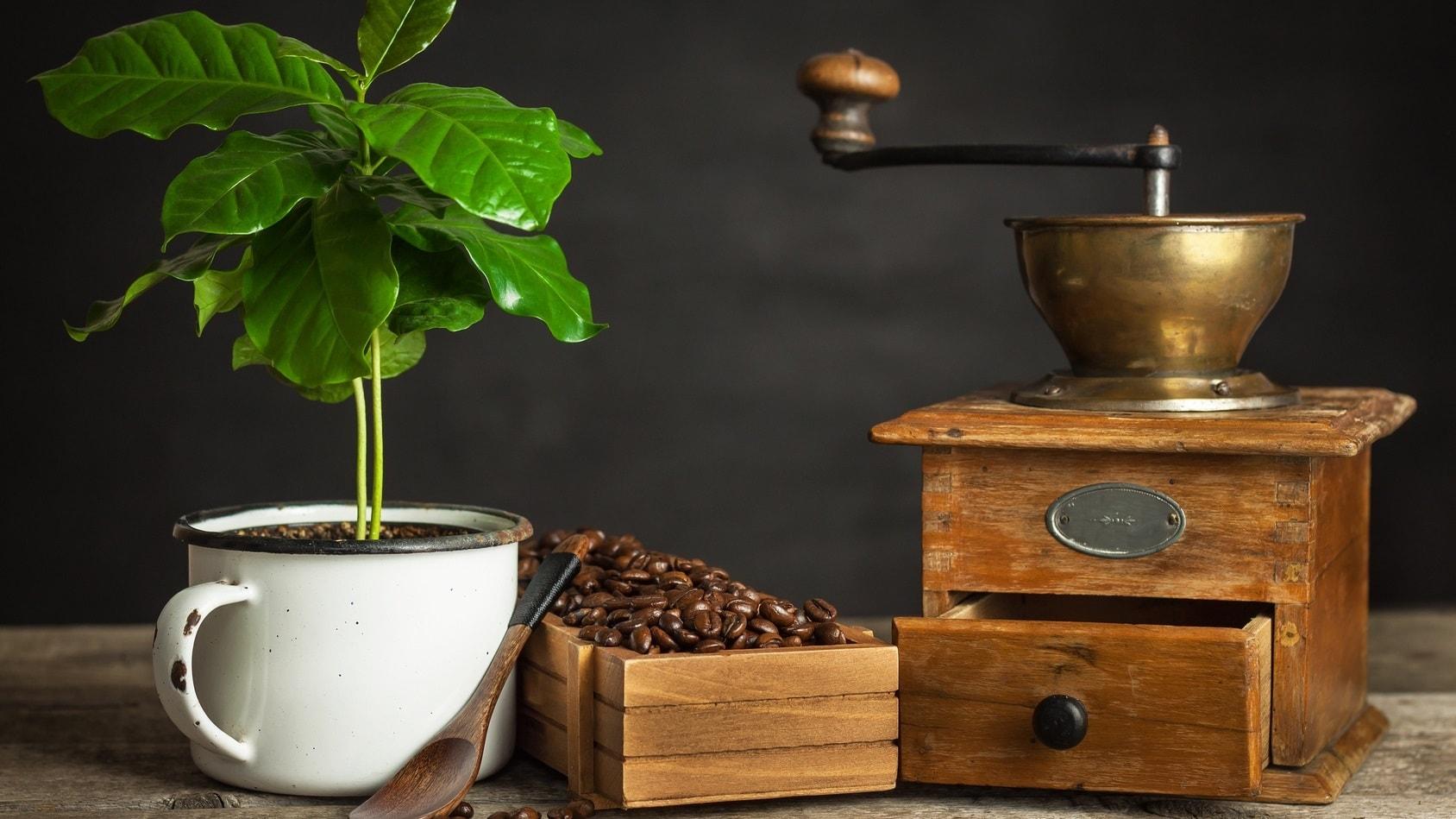 Drzewko kawowe w Twoim domu