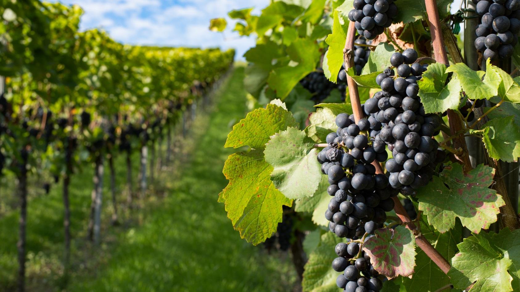 Zielona Góra winem płynąca