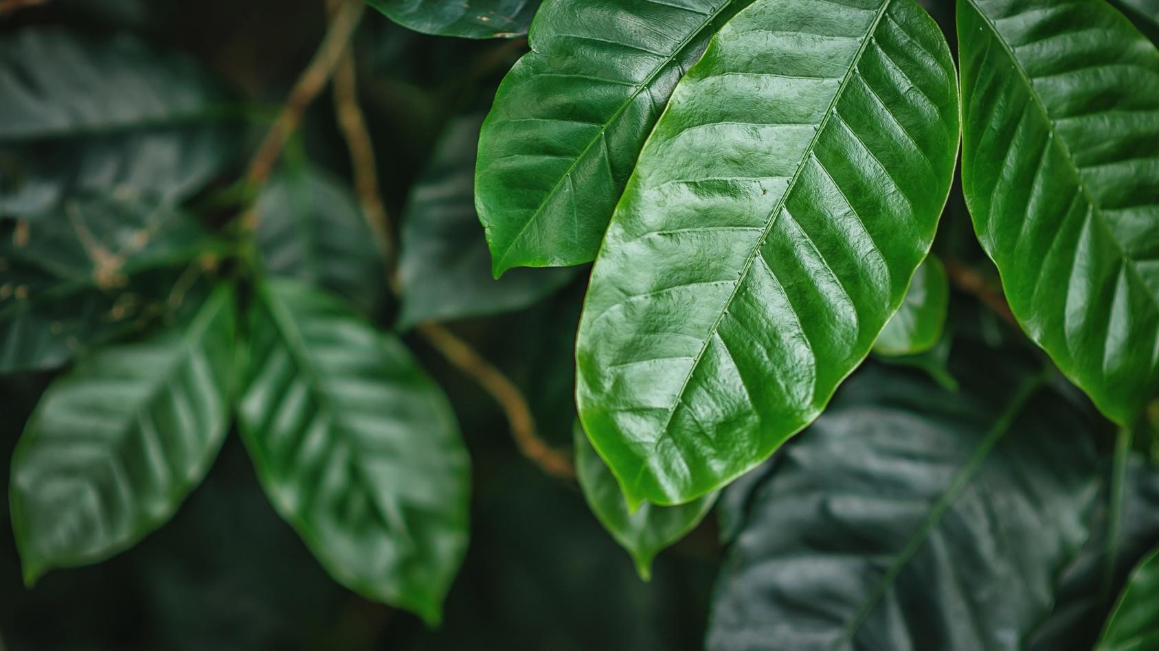 Kawowe liście