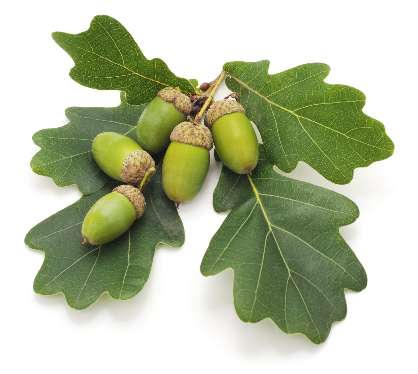 Green acorns isolated on a white background.