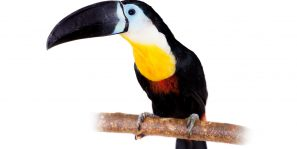 Channel-billed toucan, Ramphastos vitellinus, isolated on white background